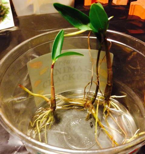 Особенности размножения орхидеи дендробиум. как развести цветок в домашних условиях или теплице?