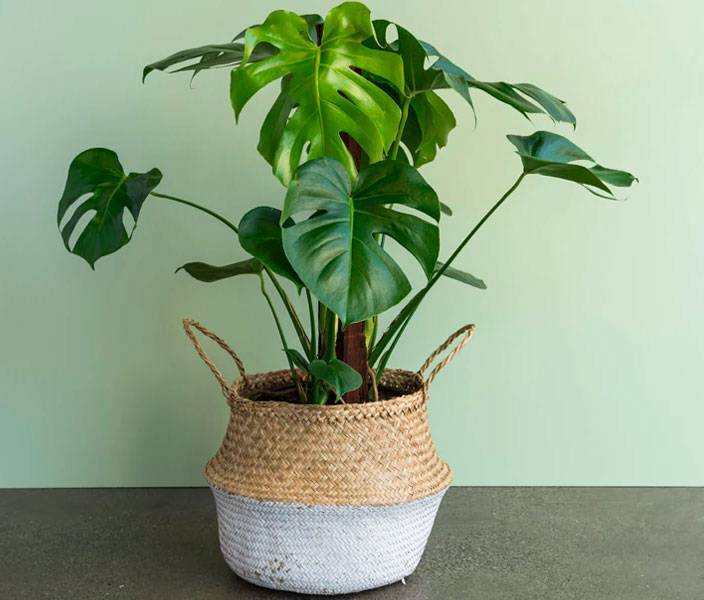 Монстера — учимся правильно ухаживать за тропической лианой.