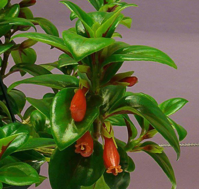 Какие разновидности нематантуса выращивают в домашних условиях