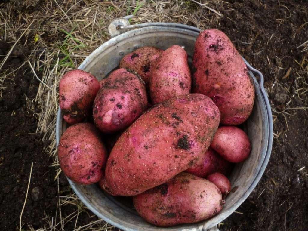 Виды картофеля: известные, полезные и не очень