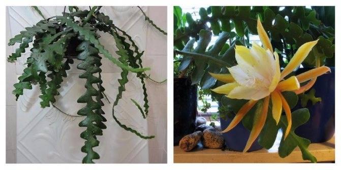 Декабрист не распускается: почему это происходит и как заставить растение цвести, что нужно делать?