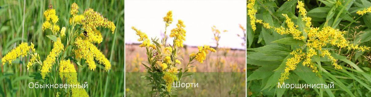 Золотарник гибридный: описание вида, популярные сорта, видео