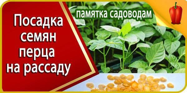 Пошаговое руководство: как высаживать перец в открытый грунт