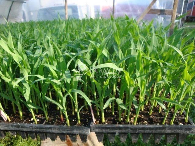 Посадка, выращивание и сбор кукурузы на даче