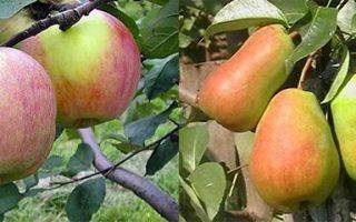 Размножение плодовых деревьев и кустов