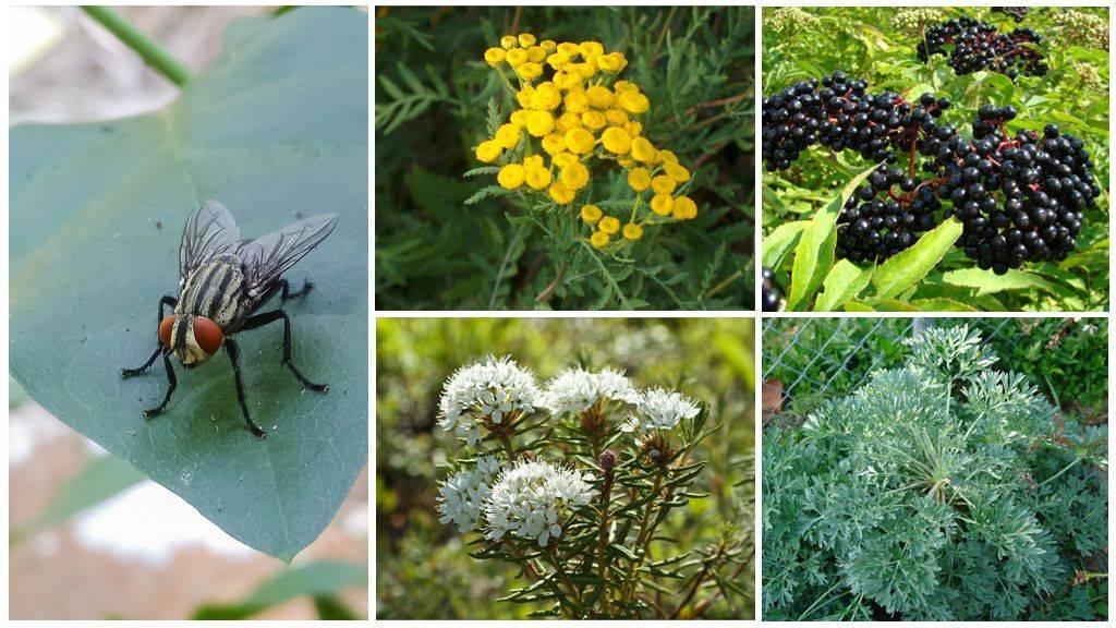 Растения, защищающие от комаров и мошек на даче.