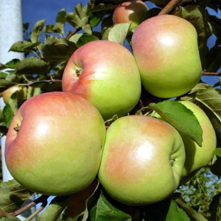 Яблоня орловим: особенности сорта и ухода
