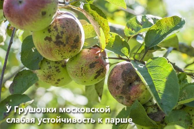 Выращивание саженцев яблони своими руками