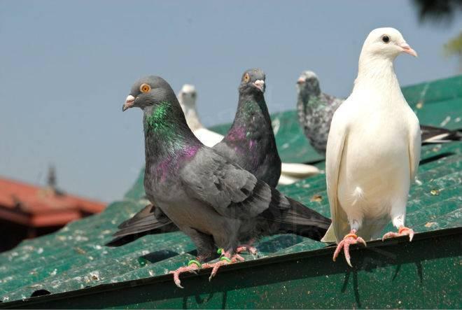 Как выкормить птенца голубя в домашних условиях?