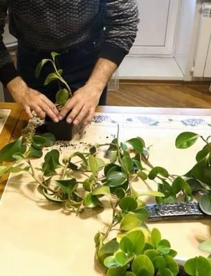 Растим тропики с пеперомией туполистной на подоконнике