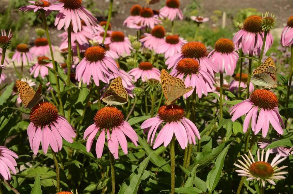Удивительный цветок эхинацея — полезные свойства и противопоказания