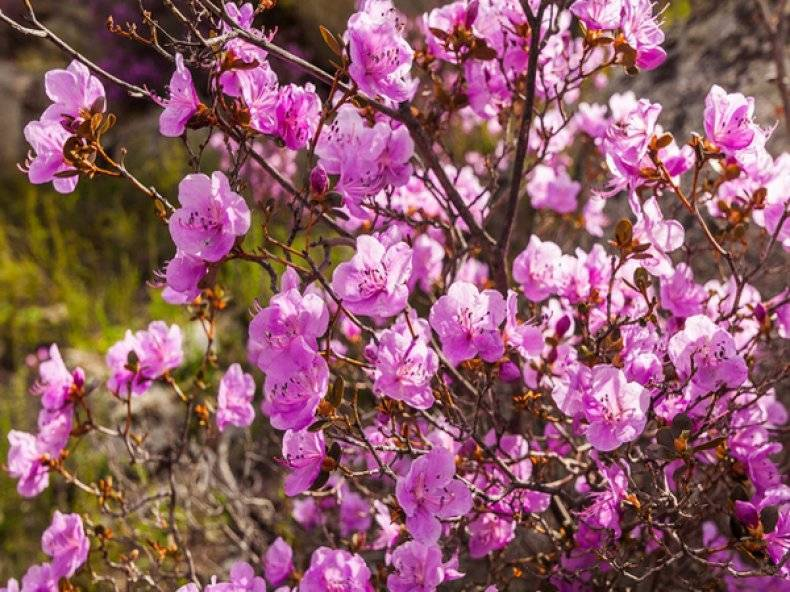 Рододендроны на урале: уход и посадка в условиях сурового климата
