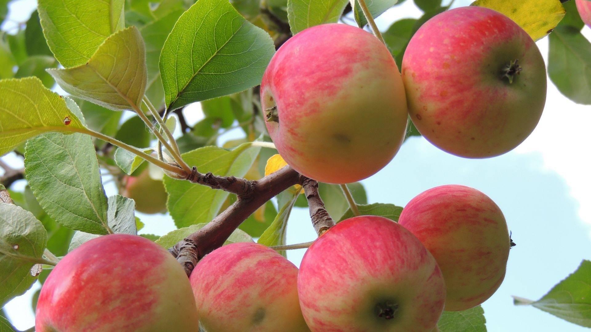источников, сорт яблони оранжевое фото и описание сорта неравнодушна