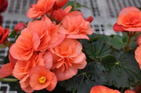 Комнатный цветок бегония клубневая в домашних условиях, уход и посадка, выращивание и размножение садовой бегонии, фото сортов