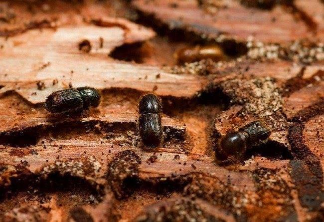 Короеды в деревянном доме – чем опасны и можно ли избавиться от них навсегда?
