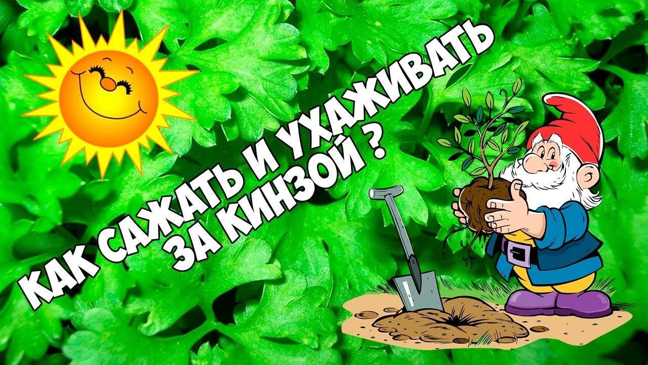 Растение-медонос кориандр посевной