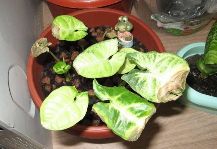 Сингониум: выращивание дома