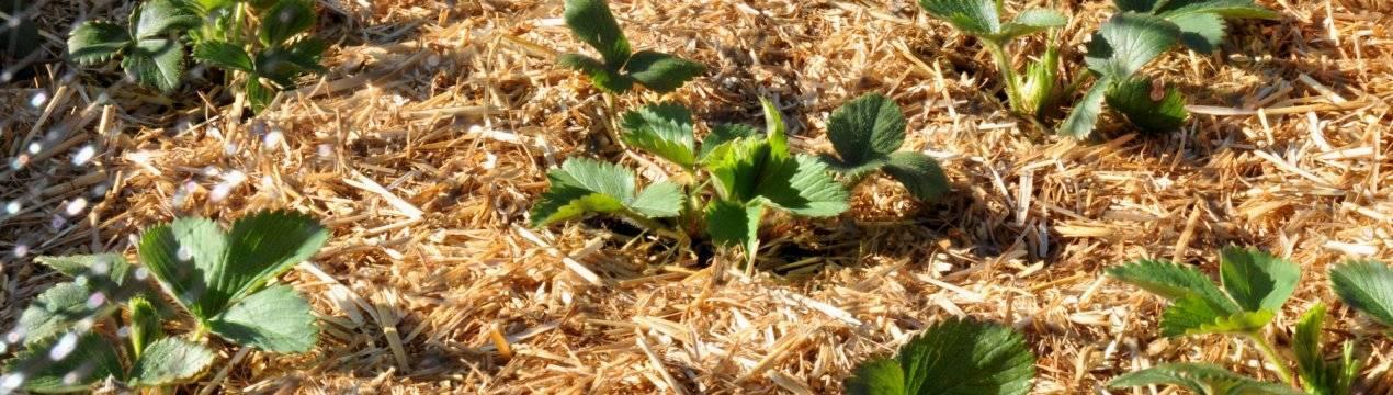 Мульча из скошенной травы: чем полезна и чем вредна