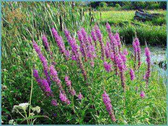 Гербера садовая: посадка и уход за многолетней садовой герберой в открытом грунте