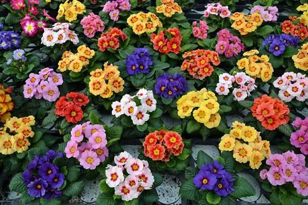 Виды садовых примул – фото, названия, описания, популярные сорта