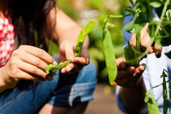 Что посадить после картофеля на следующий год: изучаем севооборот