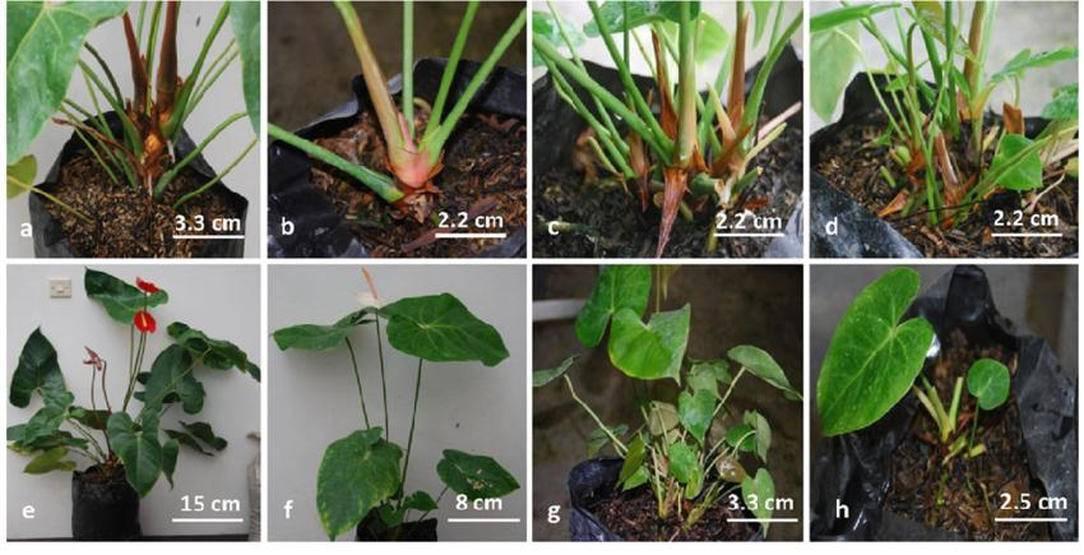 Антуриум размножение листом