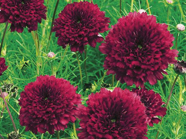 Цветок космея: воздушные цветы космической красоты