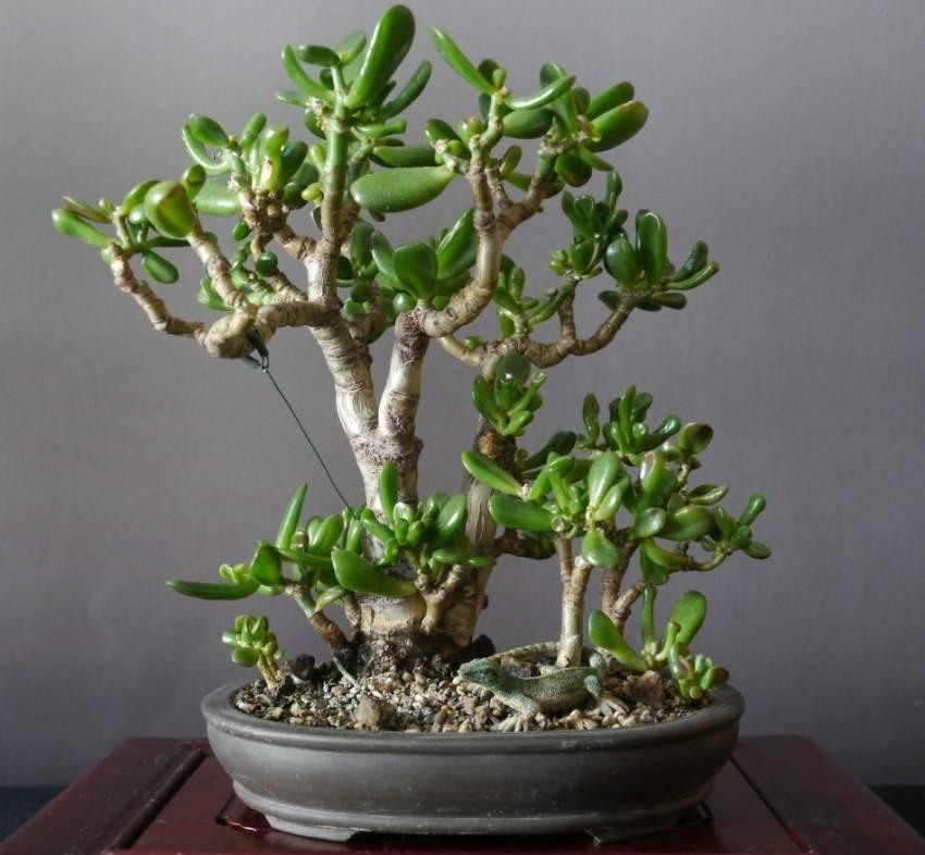 Выращиваем денежное дерево - символ богатства и процветания
