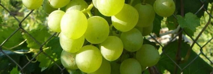 Виноград Фуршетный — описание сорта, фото