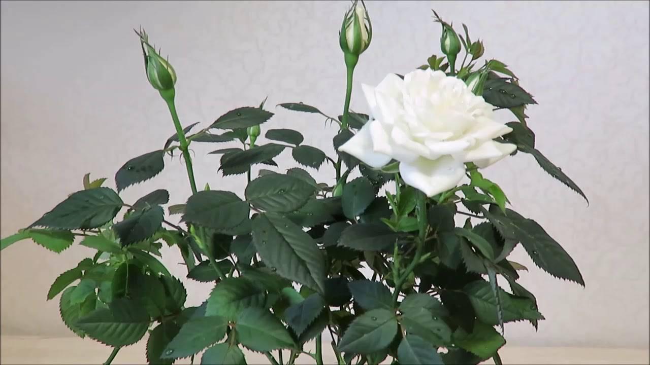 Что делать, если сохнет комнатная роза?