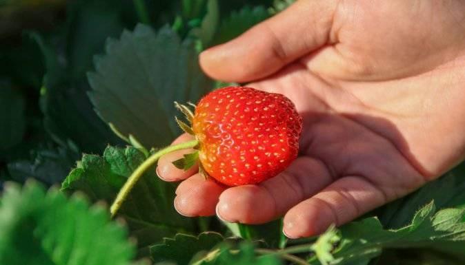 Клубника ремонтантная: секреты выращивания и правильный уход