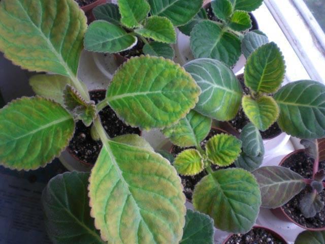 У глоксинии скручиваются листья — что делать