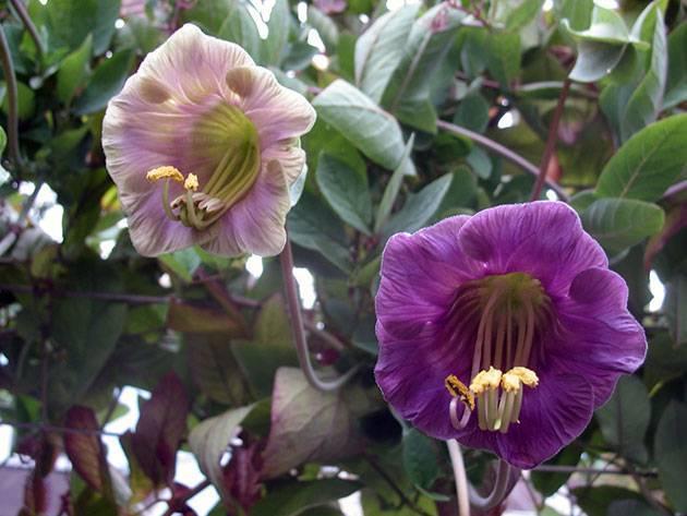 Цветы кобея