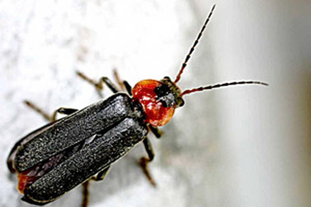 Инструкция по лечению жуком знахарем и его применению