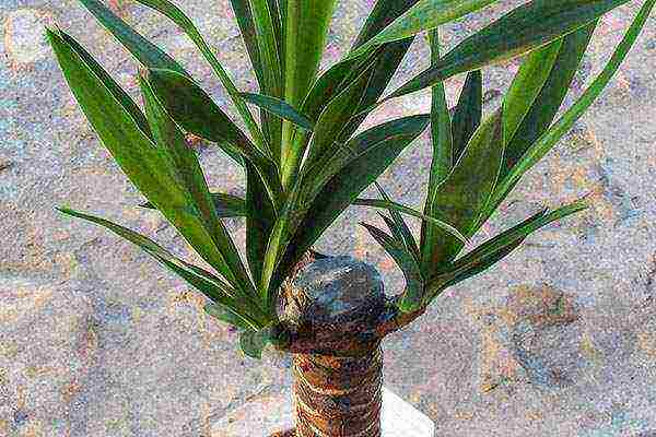 Юкка садовая или «дерево счастья»: фото, особенности посадки и ухода