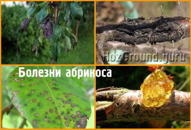 Чем эффективно обработать дерево персика от тли