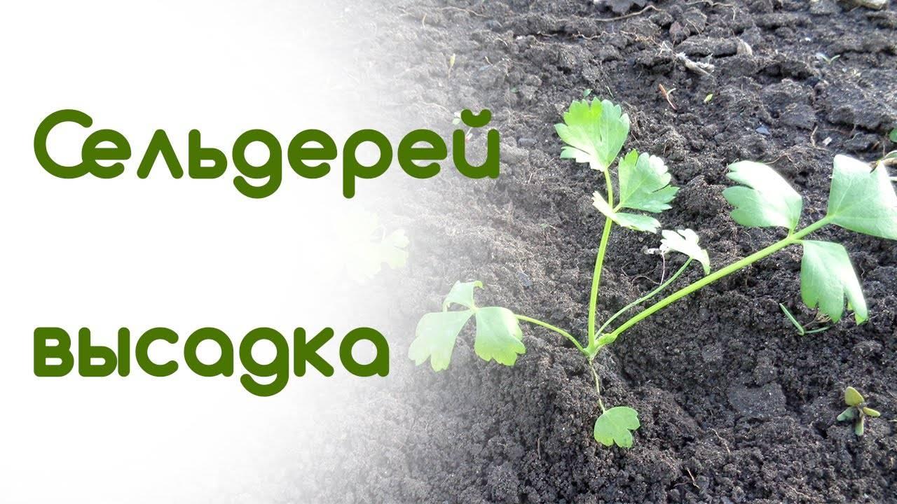 Сроки высадки рассады корневого сельдерея в открытый грунт