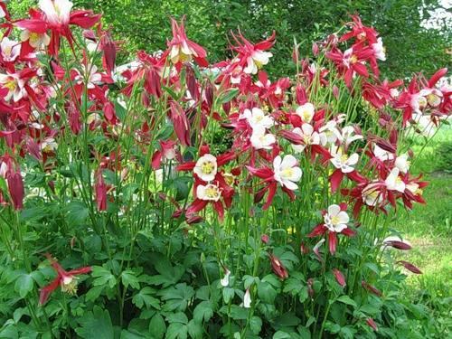 Выращивание аквилегии а саду, сроки посадки, правила ухода, видео