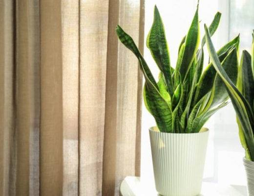 Природный очиститель воздуха в доме — хлорофитум кудрявый (кучерявый, бонни)