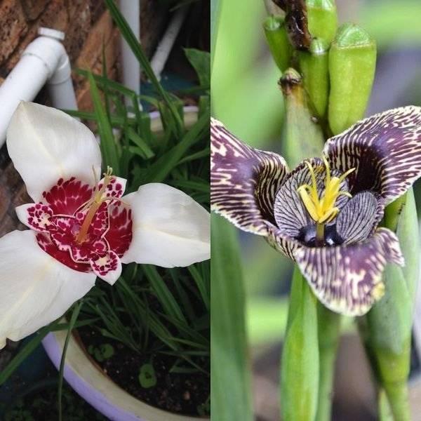 Цветок лиатрис посадка и уход в открытом грунте выращивание из семян посадка клубнями весной