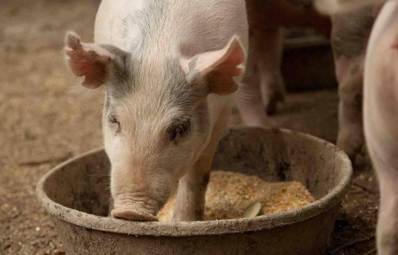 Можно ли приготовить комбикорм для свиней своими руками