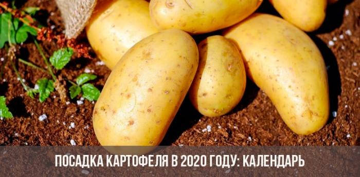 Полезный совет. как получить урожай раннего картофеля уже в конце июня