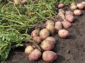 Как правильно поливать картофель: особенности, норма и правила полива