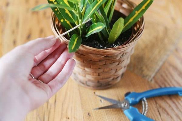 Все способы размножения кротона (кодиеума) в домашних условиях
