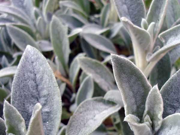 Агастахе: описание видов и особенности выращивания