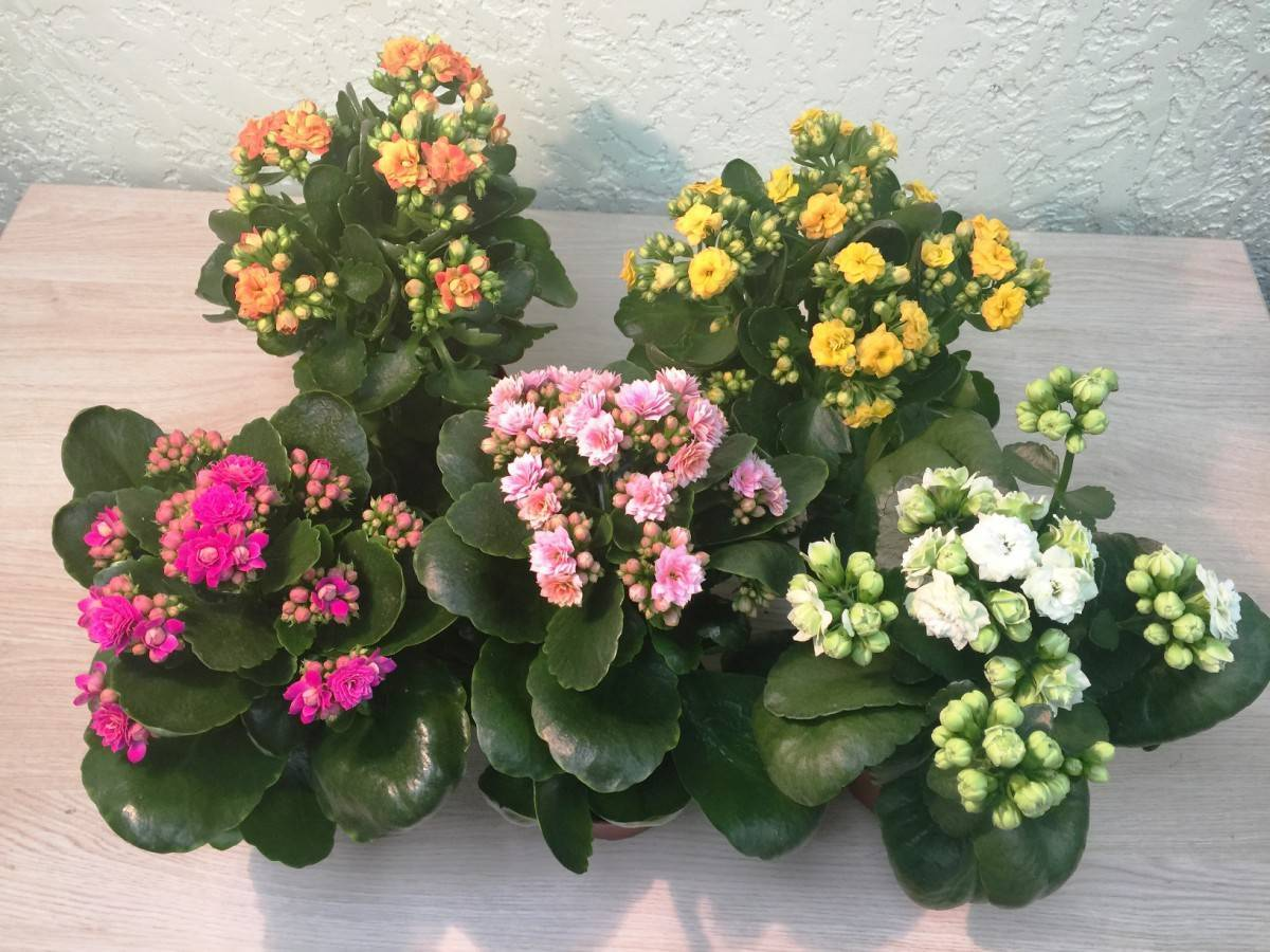 Правильный уход за каланхоэ цветущим в домашних условиях