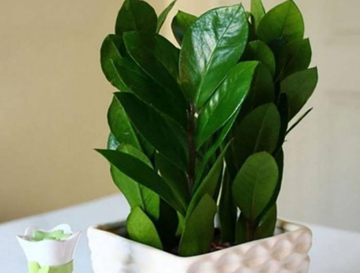 Замиокулькас: размножение «долларового дерева» листом и прочими способами