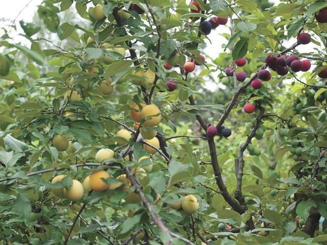 Этапы жизни плодовых деревьев