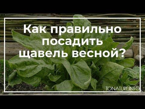 Все про всходы щавеля: через сколько дней всходит после посева, и когда стоит беспокоиться?