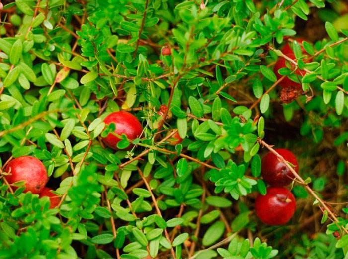 Выращивание садовой клюквы на участке – все о посадке и уходе
